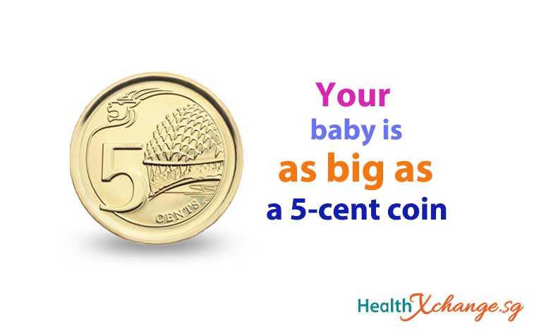 ​Pregnancy Week 8 Baby is As Big As a Singapore 5-Cent Coin!